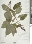 Salvia tortuosa