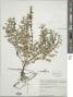 Lycopus laurentianus Rolland-Germain