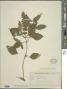 Ocimum micranthum Willd.