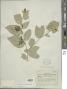 Solanum schlechtendalianum Walp