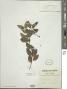 Myriopus psilostachya (Kunth) Diane & Hilger