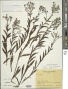 Moritzia lindenii (DC.) Benth