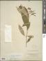Conostegia xalapensis (Bonpl.) D. Don ex DC