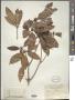 Rhododendron tanakae Hayata