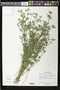 Stylosanthes biflora (L..) Britton et al