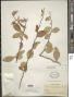 Xylosma flexuosa (Kunth) Hemsl