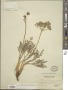 Lomatium foeniculaceum (Nutt.) J.M. Coult. & Rose subsp. foeniculaceum
