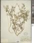 Daucus montanus Humb. & Bonpl. ex Spreng