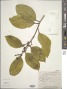 Symplocos cochinchinensis (Lour.) S. Moore