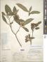 Tabernaemontana catharinensis A. DC.