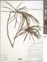 Ischnolepis graminifolia (Costantin & Gallaud) Klack.