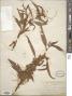 Cuscuta polygonorum Engelm.