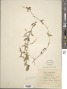 Cynanchum albiflorum (Griseb.) Stearn
