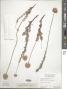 Eriogonum fasciculatum var. polifolium (Benth.) Torr. & A. Gray