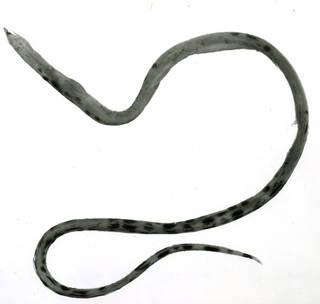 To NMNH Extant Collection (Gordiichthys springeri P11648 illustration)