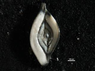 To NMNH Paleobiology Collection (Spiroloculina elegantissima cc55593)