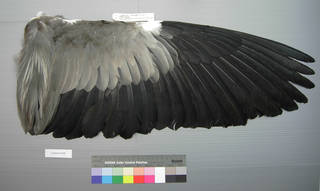 To NMNH Extant Collection (USNM 641806 Ardea cinerea - dorsal wing)