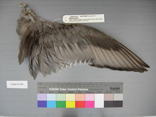 To NMNH Extant Collection (USNM 641838 Aythya ferina - dorsal wing)