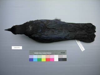 To NMNH Extant Collection (USNM 641844 Corvus corone - dorsal view)