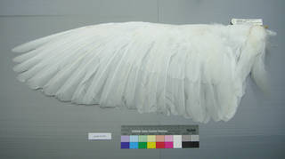 To NMNH Extant Collection (USNM 641853 Casmerodius albus - dorsal wing)