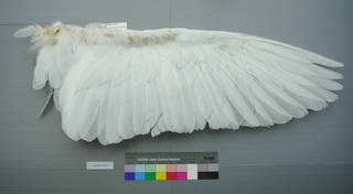 To NMNH Extant Collection (USNM 641853 Casmerodius albus - ventral wing)