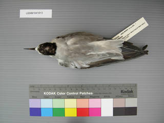 To NMNH Extant Collection (USNM 641913 Sterna albifrons - dorsal view)