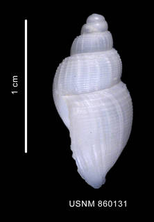 To NMNH Extant Collection (Chlanidota polyspeira Dell, 1990 Holotype dorsal view)