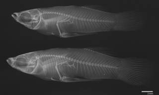 To NMNH Extant Collection (Gambusia nicaraguensis USNM 78789 radiograph 2 females)