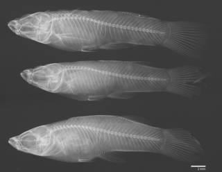 To NMNH Extant Collection (Gambusia nicaraguensis USNM 78789 radiograph 3 males)