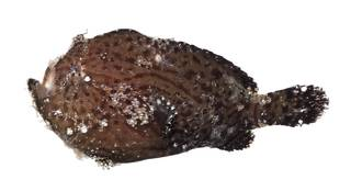 To NMNH Extant Collection (Antennarius striatus USNM 399893 photograph lateral view)