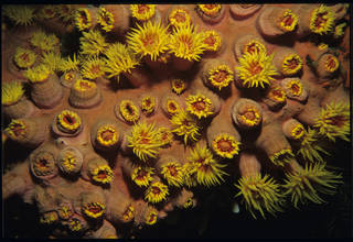 To NMNH Extant Collection (Tubastraea faulkner USNM 92580)