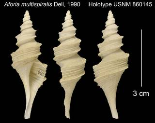 To NMNH Extant Collection (Aforia multispiralis Holotype USNM 860145)