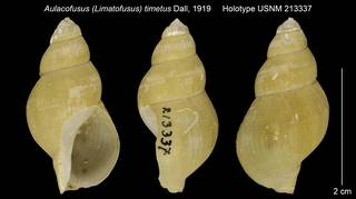 To NMNH Extant Collection (Aulacofusus (Limatofusus) timetus Holotype USNM 213337)
