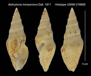 To NMNH Extant Collection (Bathytoma tremperiana Holotype USNM 219906)