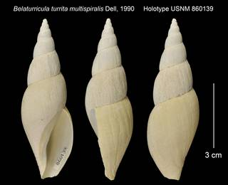 To NMNH Extant Collection (Belaturricula turrita multispiralis Holotype USNM 860139)