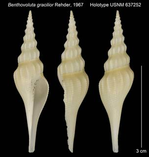 To NMNH Extant Collection (Benthovoluta gracilior Holotype USNM 637252)