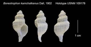 To NMNH Extant Collection (Boreotrophon kamchatkanus Holotype USNM 109178)