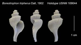 To NMNH Extant Collection (Boreotrophon tripherus Holotype USNM 109044)