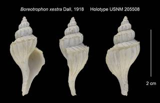 To NMNH Extant Collection (Boreotrophon xestra Holotype USNM 205508)