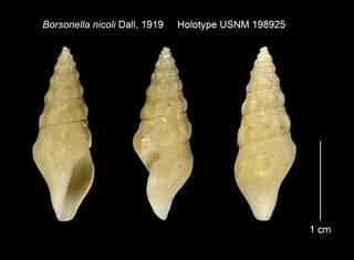 To NMNH Extant Collection (Borsonella nicoli Holotype USNM 198925)