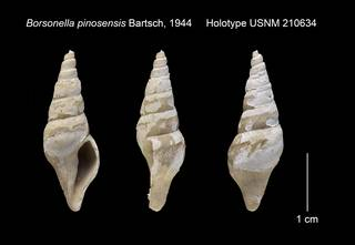 To NMNH Extant Collection (Borsonella pinosensis Holotype USNM 210634)