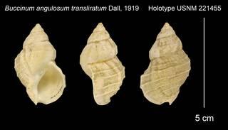To NMNH Extant Collection (Buccinum angulosum transliratum Holotype USNM 221455)