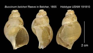 To NMNH Extant Collection (Buccinum belcheri Holotype USNM 191810)