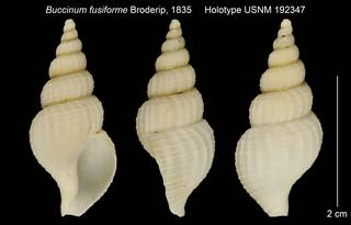 To NMNH Extant Collection (Buccinum fusiforme Holotype USNM 192347)