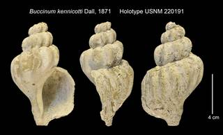 To NMNH Extant Collection (Buccinum kennicotti Holotype USNM 220191)