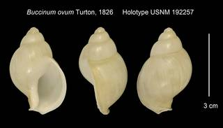 To NMNH Extant Collection (Buccinum ovum Holotype USNM 192257)