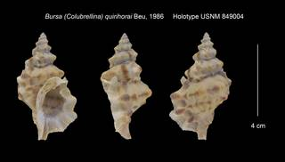 To NMNH Extant Collection (Bursa (Colubrellina) quirihorai Holotype USNM 849004)