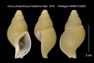 To NMNH Extant Collection (Colus (Aulacofusus) halidonus Holotype USNM 213250)