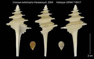 To NMNH Extant Collection (Coluzea kallistropha Holotype USNM 718517)