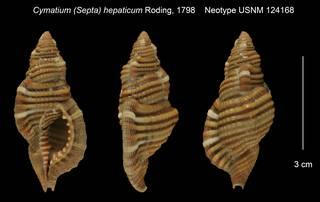 To NMNH Extant Collection (Cymatium (Septa) hepaticum Neotype USNM 124168)
